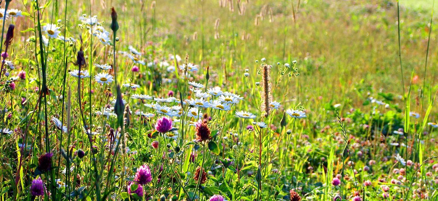 discover fields of wild maine wildflowers
