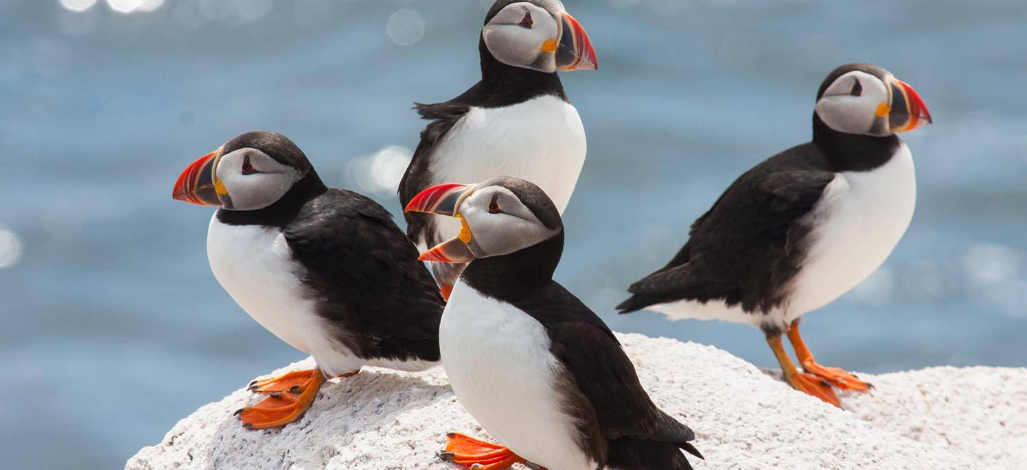 meet our local maine puffins